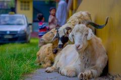 休息在一个大厅里的室外观点的许多山羊在镇在塔石难民解决在博克拉,尼泊尔 免版税库存图片