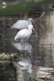 休息在一个平静的池塘的白色朱鹭在佛罗里达 免版税库存照片