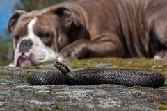 休息在一个旁边一危险蝰蛇属berus的一只强的牛头犬 库存图片