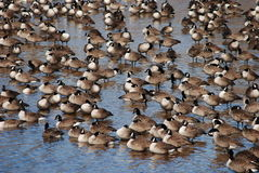 休息在一个浅水池的水平的加拿大鹅 免版税库存图片