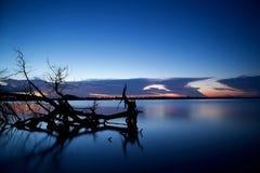休息在一个淡水湖的膝部的树骨骼 库存照片