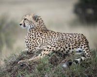 休息在一个草覆盖的土墩顶部的一头成人猎豹特写镜头sideview今后看 图库摄影