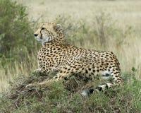 休息在一个草覆盖的土墩顶部的一头成人猎豹特写镜头sideview今后看 库存图片