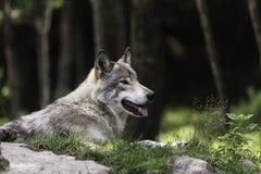 休息在一个被遮蔽的区域的一头孤立北美灰狼 免版税库存图片