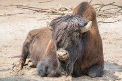 休息在一个晴天的坐的水牛 免版税库存照片