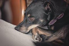 休息在一把白色椅子的小美丽的小狗 免版税库存图片