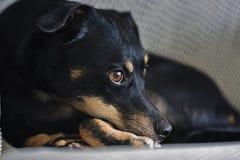 休息在一把白色椅子的小美丽的小狗 免版税库存照片