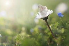 休息在一朵雏菊的妇女在草甸 免版税图库摄影