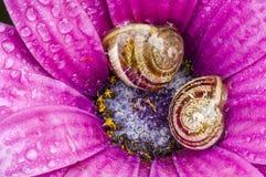 休息在一朵紫色雏菊里面的地面蜗牛 免版税库存照片