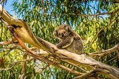 休息在一棵树的考拉在维多利亚,澳大利亚 图库摄影