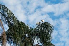 休息在一棵棕榈树的白鹭在布里斯班,澳大利亚 免版税库存照片