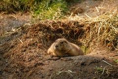 休息在他的巢的加拿大土拨鼠 免版税库存图片