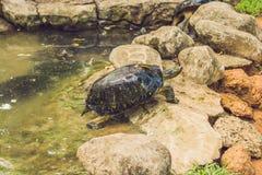 休息在公园的一只巨大的草龟由池塘 免版税库存图片