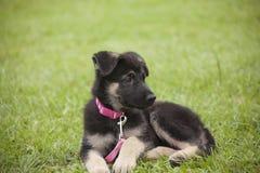 休息在公园的黑拉布拉多小狗 图库摄影