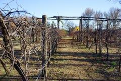 休息在冬天的葡萄园 库存照片