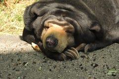 休息在动物园的太阳熊 库存照片