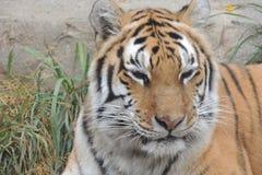 休息在动物园的老虎 免版税库存照片