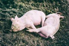 休息在土的两头桃红色猪 免版税图库摄影