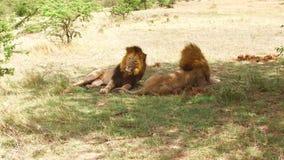 休息在大草原的公狮子在非洲 影视素材