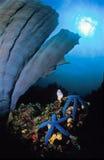 休息在大蓝色管珊瑚下的两个蓝色海星 免版税库存照片