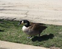 休息在威明顿,特拉华的加拿大鹅 免版税图库摄影
