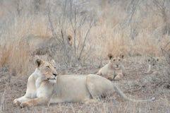 休息在宴餐以后的狮子自豪感  免版税库存照片