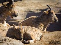 休息在岩石的太阳的婴孩西部白种人tur绵羊 免版税库存图片