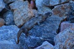 休息在岩石的黄昏的野生鬣鳞蜥在小游艇船坞Vallarta在巴亚尔塔港墨西哥 Ctenosaura pectinata,一般叫作我 库存图片