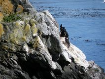 休息在岩石的黑海鸥 库存照片