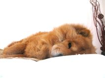 休息在床上的中国咸菜狗 免版税库存照片