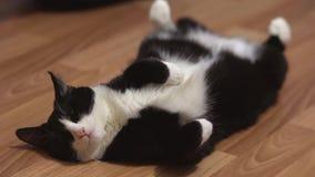休息在戏剧以后的滑稽的猫 影视素材