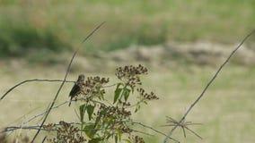 休息在杂草花后的Stonechat鸟 影视素材