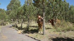 休息在树之间的马 影视素材