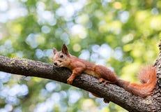 休息在树枝的树荫下的红松鼠在夏日期间 免版税库存图片