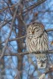 休息在树的条纹猫头鹰 免版税库存照片