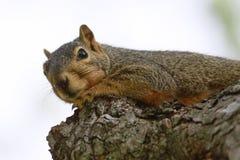 休息在树的灰鼠 免版税库存图片