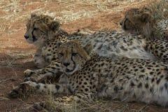 休息在树荫下的猎豹兄弟姐妹 免版税库存照片