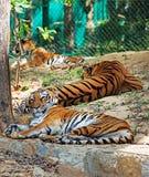 休息在树荫下的皇家孟加拉老虎条纹  库存图片