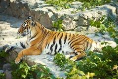 休息在树荫下的老虎 免版税库存照片