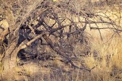 休息在树荫下的老虎 库存图片