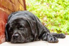 休息在树荫下的黑拉布拉多猎犬 免版税库存图片