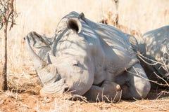 休息在树荫下的Rhinocerous 库存照片