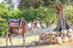 休息在树荫2下的骆驼 免版税库存照片