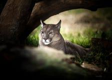 休息在树,关闭下的幼小美洲狮  免版税库存图片