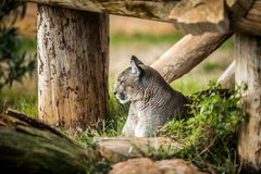 休息在树,关闭下的幼小美洲狮  图库摄影