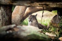 休息在树,关闭下的幼小美洲狮  免版税图库摄影