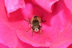 休息在桃红色罗斯花03的蜂 免版税库存图片