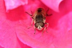 休息在桃红色罗斯花04的蜂 免版税库存照片