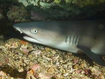 休息在桌珊瑚01下的年轻whitetip礁石鲨鱼 免版税库存图片