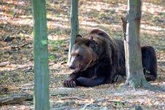 休息在森林里的棕熊 免版税库存图片